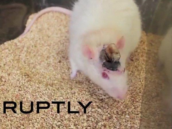 Chuột được cấy ghép não nhân tạo vẫn sống khỏe