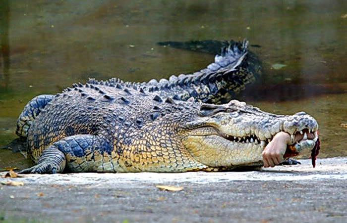 Chuyện lạ về cá sấu
