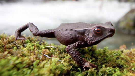 Colombia phát hiện ba loài ếch chưa từng biết tới