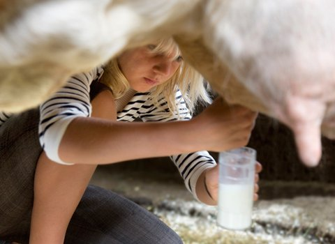 Con bò cho sữa người