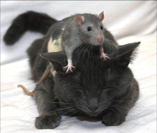 Con chuột không biểt sợ mèo