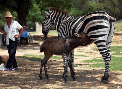 Con lừa lai ngựa vằn hiếm có
