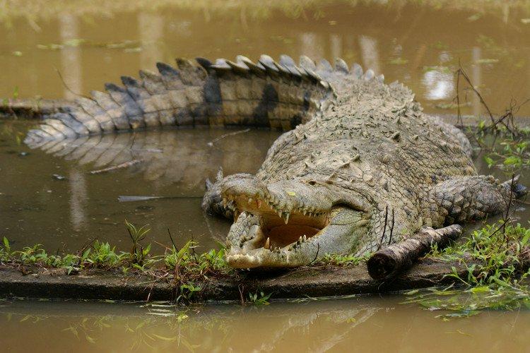 Cuba bảo tồn loài cá sấu quý hiếm đặc chủng của châu Mỹ
