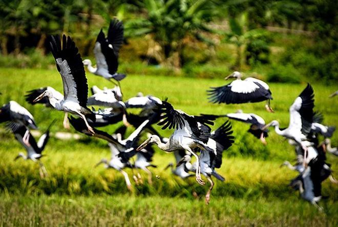 Đàn chim xuất hiện ở Lào Cai là loài nhạn