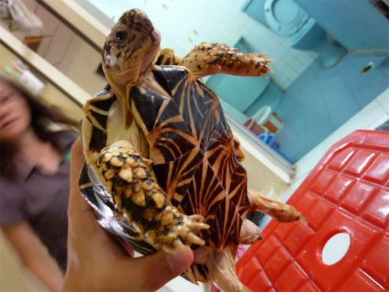 Dân chơi Việt mê mệt loài rùa đẹp nhất thế giới