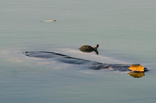 Đề xuất diệt rùa tai đỏ hồ Gươm bằng lưới