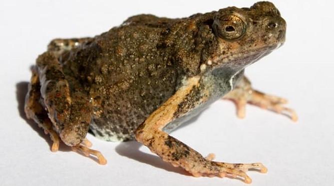 Dịch bôi trơn của loài ếch có thể chữa lành vết thương