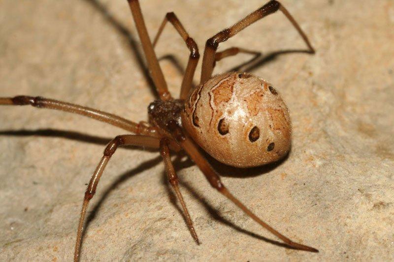 Điều gì sẽ xảy ra nếu chúng ta nuốt chửng một con nhện?