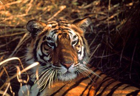 Điều tra số lượng hổ ở Việt Nam