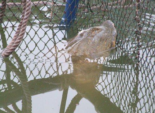 Điều trị cho cụ Rùa trong hai tuần
