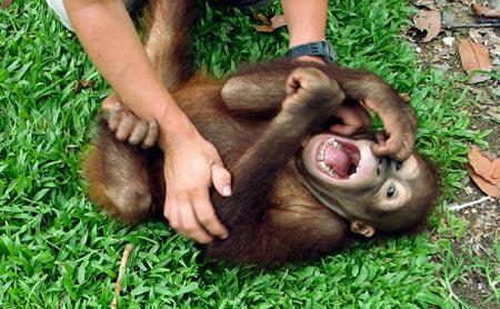Động vật linh trưởng cũng biết cười