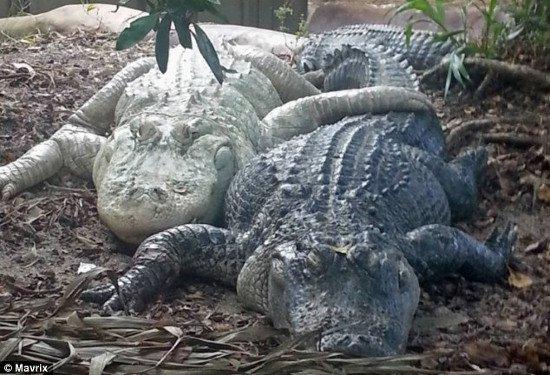 Dương vật cá sấu luôn sẵn sàng lâm trận