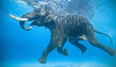 Gặp con voi biết bơi duy nhất trên thế giới
