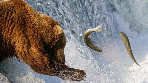 Gấu nâu vào mùa săn cá