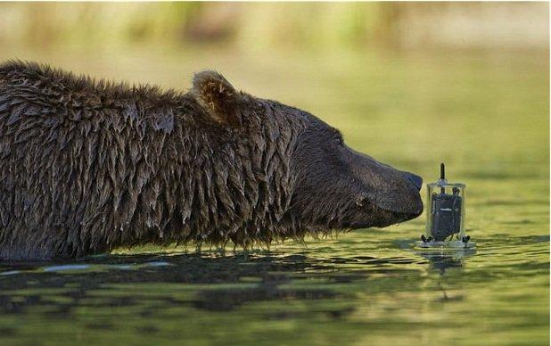 Gấu xám lặn xuống nước bắt cá hồi ở Alaska