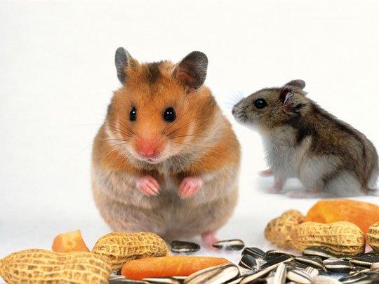 Gen chuột và người khác nhau nhiều hơn ta tưởng