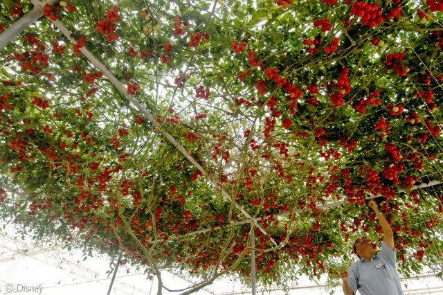 Giống cà chua cực mắn cho ra hàng chục ngàn quả một cây