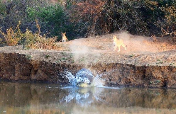 Hà mã cười nhạo sư tử sau khi chạy thoát thân