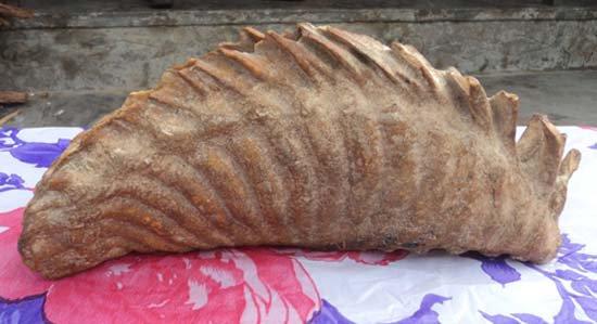 Hà Tĩnh phát hiện xương hoá thạch khủng long?