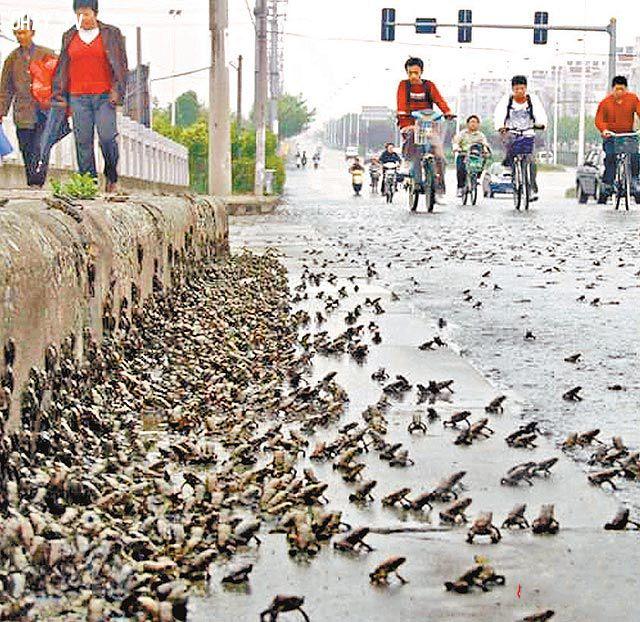 Hàng trăm ngàn con ễnh ương xuất hiện ở Tây Ninh