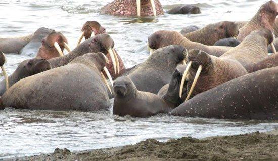 Hàng vạn con hải mã xếp hàng trên bờ biển Alaska