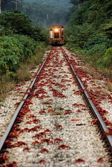 Hành trình kỳ lạ của cua đỏ