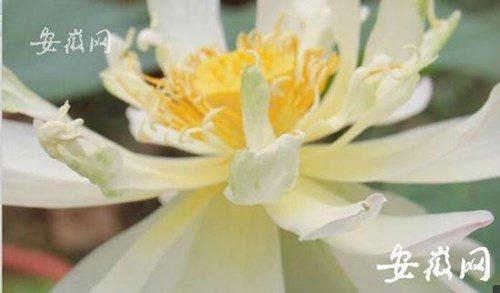 Hạt sen 600 tuổi bất ngờ thức dậy nở hoa ở Trung Quốc