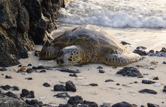Hé lộ cuộc sống tình dục kỳ lạ của loài rùa cực hiếm