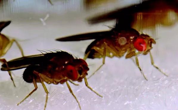 Hé lộ sinh vật có tinh trùng dài bằng 20 lần kích cỡ cơ thể