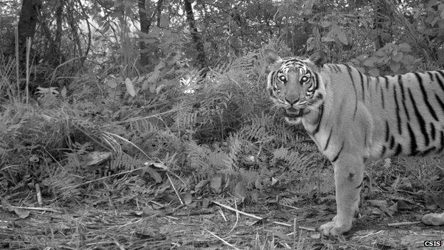 Hổ thay đổi chiến thuật để tránh người