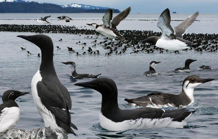 Hơn 8.000 chim biển chết bất thường dọc bãi biển Alaska