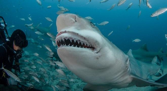Khám phá gây sửng sốt về cá mập chanh