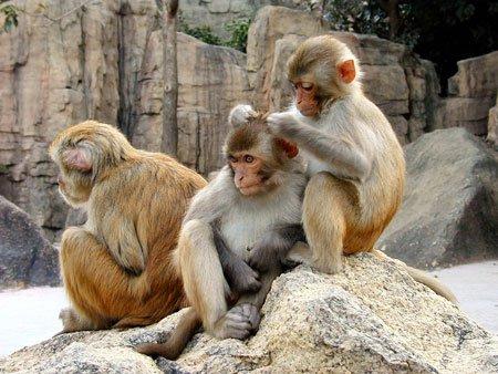 Khỉ có gene chống bệnh thế kỷ