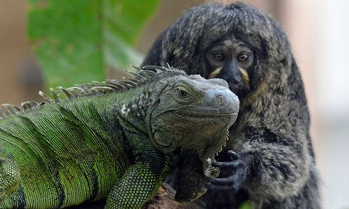 Khỉ đuôi sóc mát xa cho kỳ nhông
