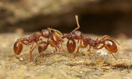 Kiến - loài côn trùng cổ nhất hành tinh còn sống