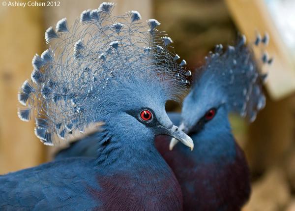 Kiểu tỏ tình lạ đời của Bồ câu mũ miện xanh