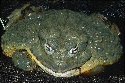 Kinh ngạc loài ếch khổng lồ, dài 1m, nặng 8kg