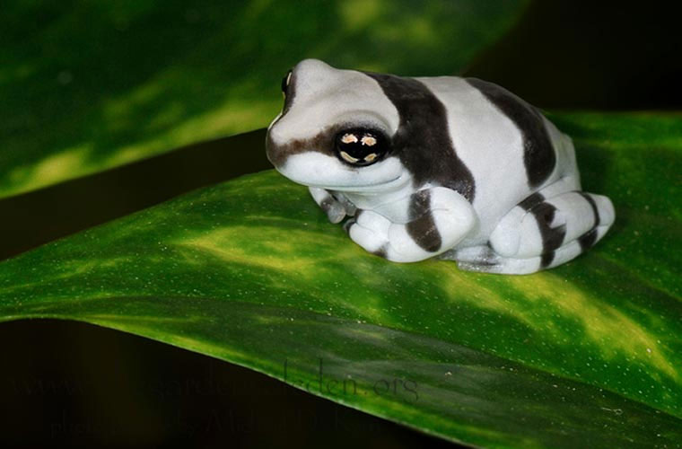 Kỳ dị loài ếch tiết sữa khi bị stress