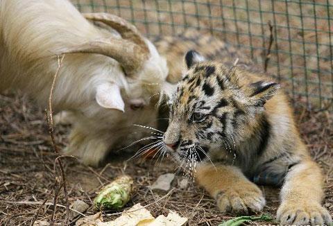 Kỳ thú: Dê nuôi hổ