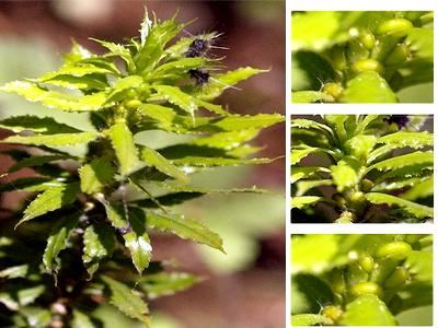 Lâm Đồng: Phát hiện cây thuốc cực hiếm trị bệnh Alzheimer