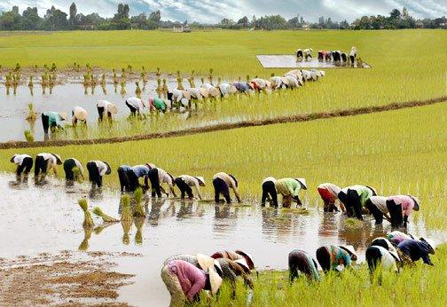 Làm nông nghiệp khiến con người... lùn đi