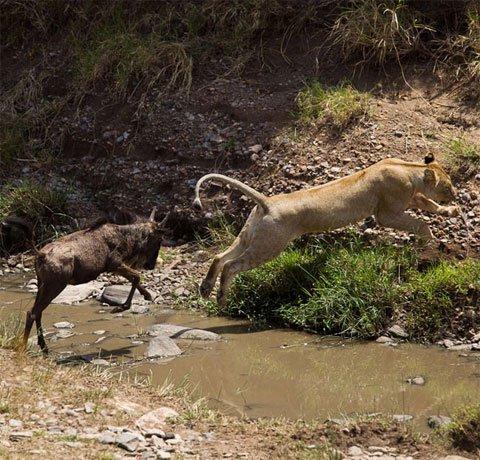 Linh dương dọa sư tử