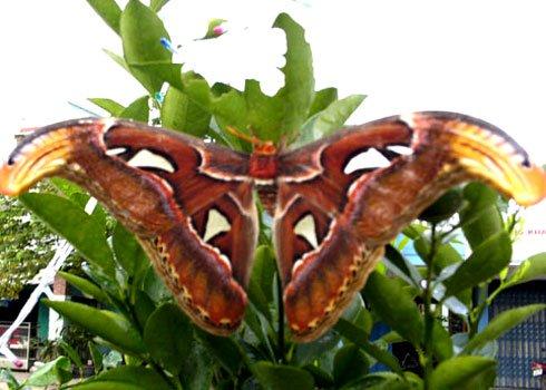 Loài bướm lớn nhất Đông Nam Á xuất hiện ở nhà dân