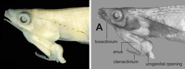Loài cá có tuyến sinh dục nằm trên đầu ở Việt Nam