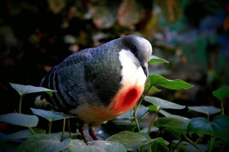 """Loài chim bồ câu kỳ lạ với """"trái tim rỉ máu"""" ở ngực"""