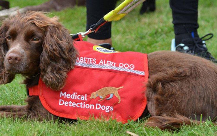 Loài chó ngửi được bệnh tiểu đường, và người ta đã biết được tại sao