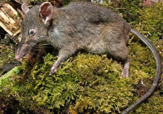 Loài chuột mới không răng hàm, thích ăn giun