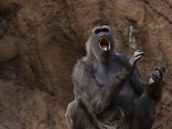 Loài khỉ có khả năng nói được tiếng người?