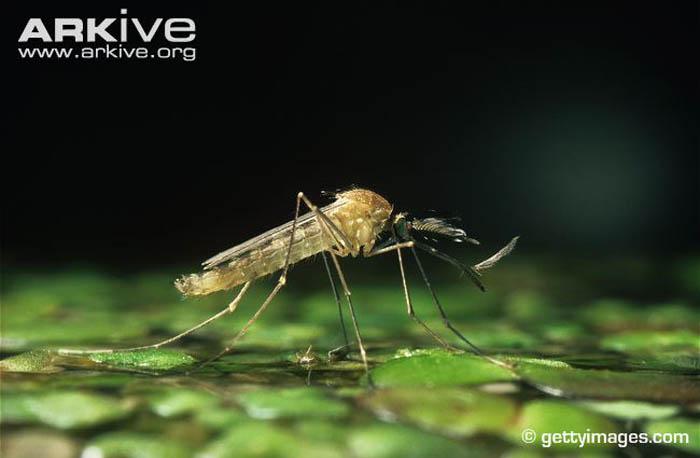 Loài muỗi khổng lồ có cú chích máu thấu xương