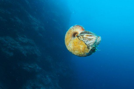 Loài ốc biển 500 triệu năm tuổi cực hiếm sau 31 năm mất tích
